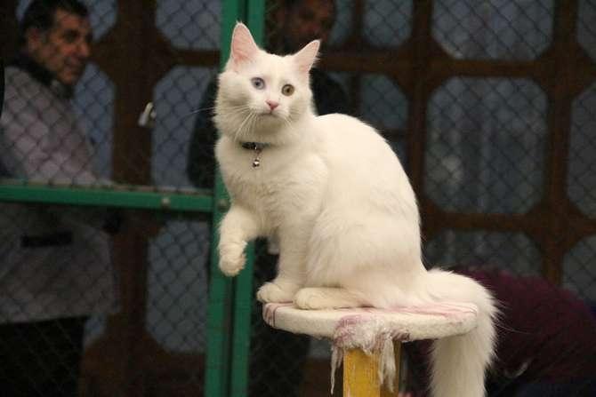 Van kedileri göz kamaştırıyor galerisi resim 1