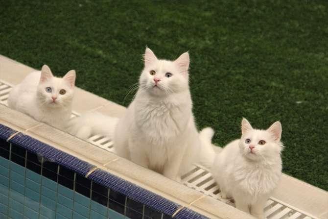 Van kedileri göz kamaştırıyor galerisi resim 6