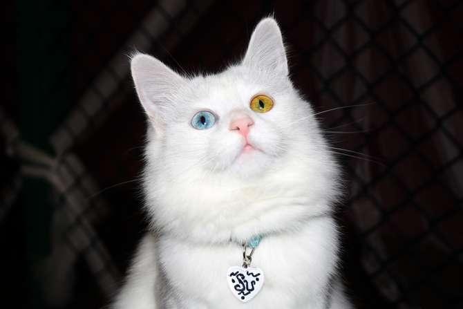 Van kedilerinin popülerliği arttı galerisi resim 1