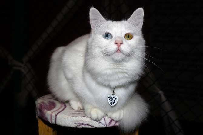 Van kedilerinin popülerliği arttı galerisi resim 2