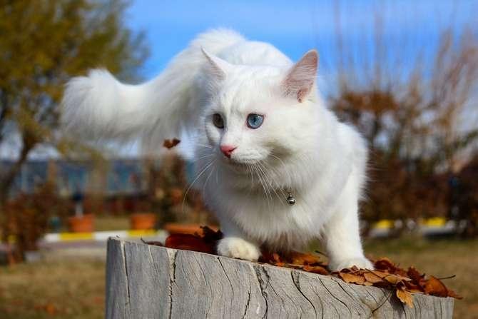 Van kedilerinin popülerliği arttı galerisi resim 3