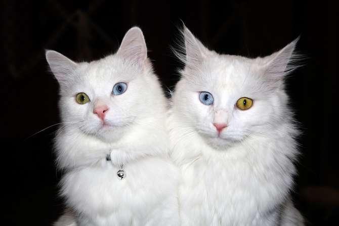 Van kedilerinin popülerliği arttı galerisi resim 4