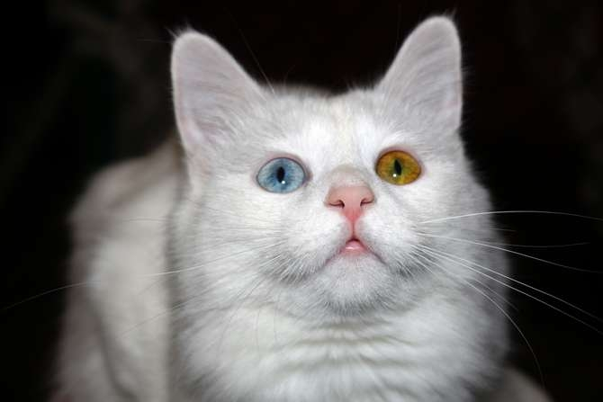 Van kedilerinin popülerliği arttı galerisi resim 6