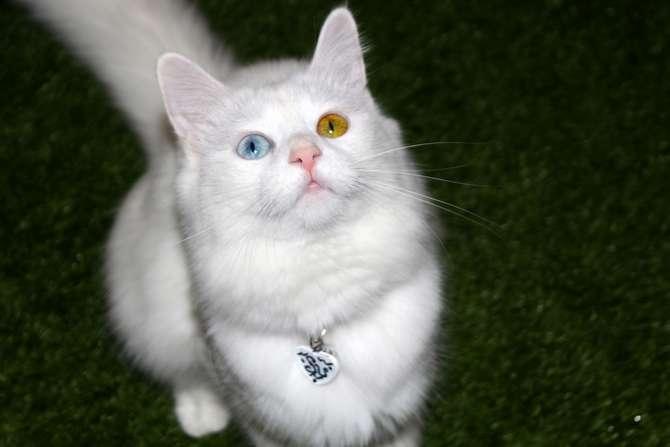 Van kedilerinin popülerliği arttı galerisi resim 7