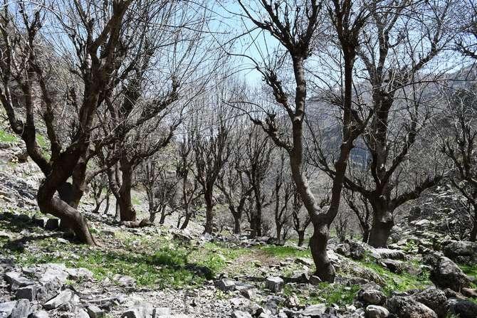 3 asırlık ağaçlar kartpostallık görüntüler galerisi resim 8