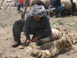 Nebırnav Yaylasında koyun kırpma telaşı