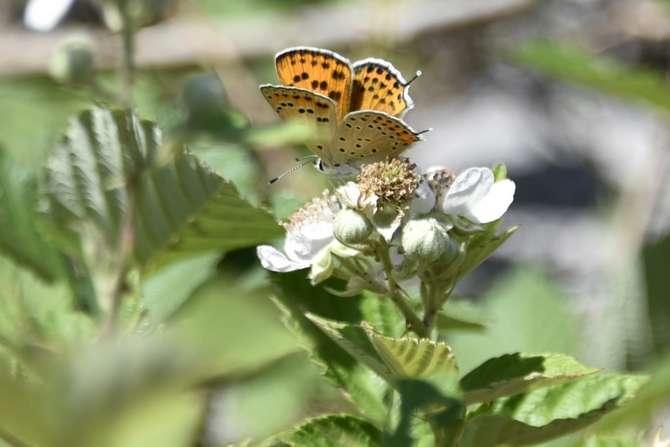kelebekler risk altında galerisi resim 2