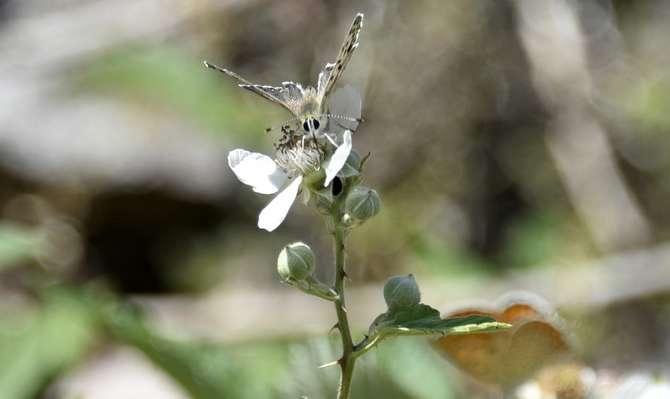 kelebekler risk altında galerisi resim 6