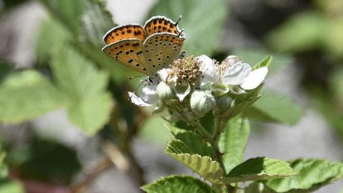 kelebekler risk altında galerisi resim 7