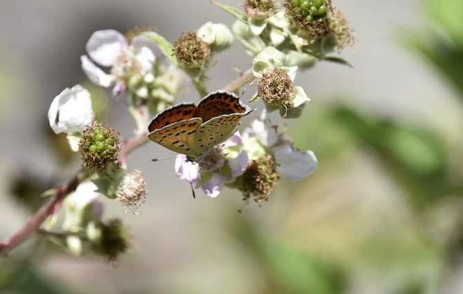 kelebekler risk altında galerisi resim 8
