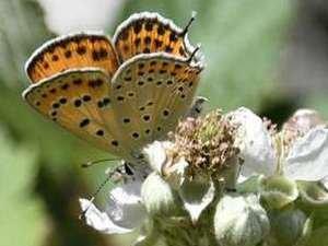 kelebekler risk altında
