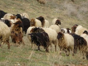 Koyunlar meralara çıkmaya başladı
