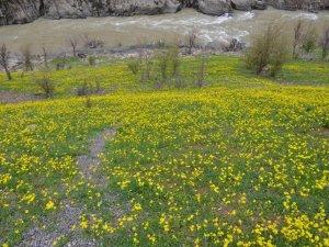 Şırnak dağları sarıya büründü