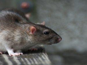 Bir ülkeyi fareler sardı