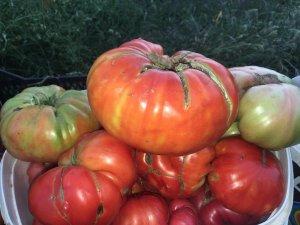 Beytüşşebap ilçesinde domates bereketi