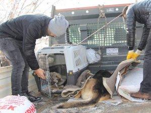 Yaralı köpekler, tedavileri için Van'a sevk edildi