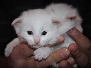 Van kedileri bu yıl erken doğum yaptı