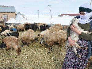Yüksekova'lı çiftçilerin kuzu sevinci