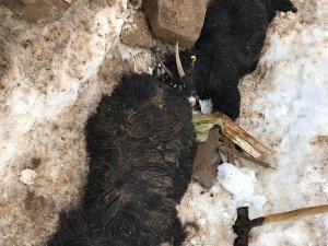 Ahırın üzerine çığ düştü. 45 keçi, 1 katır telef oldu