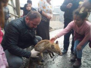 Köpeklerin saldırdığı yavru tilki kurtarıldı