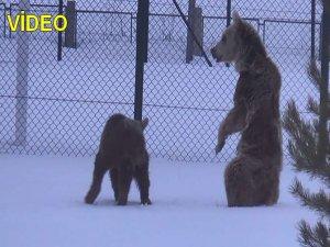 Aç ayılar uykudan uyanır uyanmaz ilçe merkezine indi