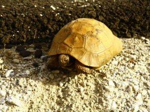 Yılan yiyen kaplumbağa görüntülendi