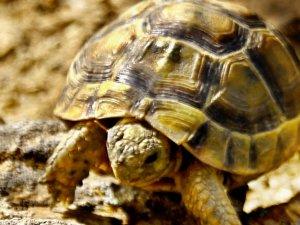Gözüne diken batan kaplumbağayı kurtardı