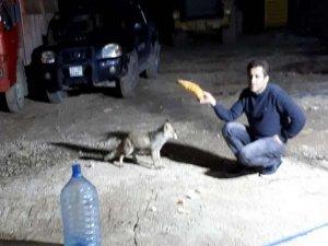 İnşaat işçisi tilkiyi kendi elleriyle besliyor