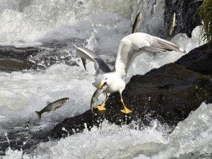 Van balığının martılar ile mücadelesi...