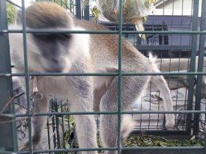 Mahallede dolaşan sahipsiz maymun yakalandı