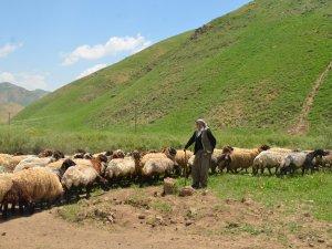 Faraşin yaylası 250 bin koyuna ev sahipliği yapıyor