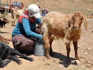 Kavurucu sıcakta süt sağımı