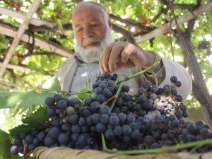 Yerli üzümlerinde hasat zamanı