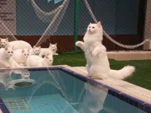 Van kedisi 'Su' güzelliğini dünyaya kanıtladı