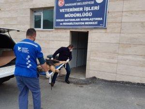 Yaralı kurt cinsi köpek sedye ile taşındı