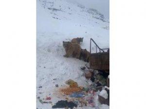 Buz ayıları Çukurca'da böyle görüntülendi...