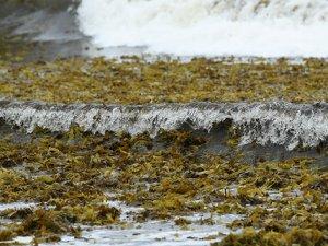 Sidney'in ünlü plajını deniz yosunları kapladı