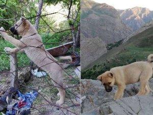 Hakkari'de kayıp kangal köpeği aranıyor