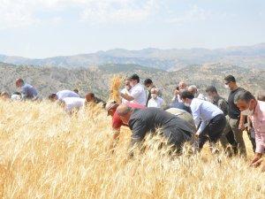 Vali Pehlivan çiftçilerle orak salladı