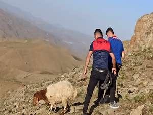 Kayalıklarda inemeyen koyunları AFAD kurtardı