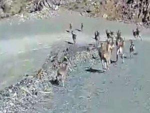 Sürü halinde dağ keçisi görüntülendi