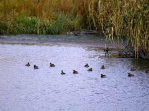 Yaban ördeklerle gelen sonbahar güzelliği