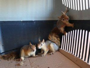 3 yavru sincap koruma altına alındı