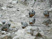 625 keklik doğaya bırakıldı