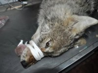 Yüksekova'da korku salan kurt yakalandı