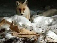 Aç kalan tilkiyi elleriyle besledi