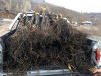 Şemdinli'de 15 bin ceviz fidanı dağıtıldı