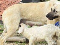 Bu kuzunun iki annesi var!