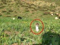 Kahverengi yarısı beyaz gelincik görüntülendi