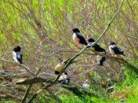 Sığırcık kuşları çiftçileri sevindirdi